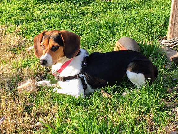 From South Carolina to California—Sally the Beagle Finds her Forever Home