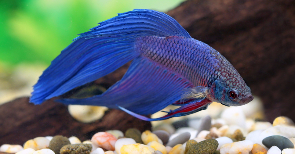 Better Betta Care for Happy Healthy Fish